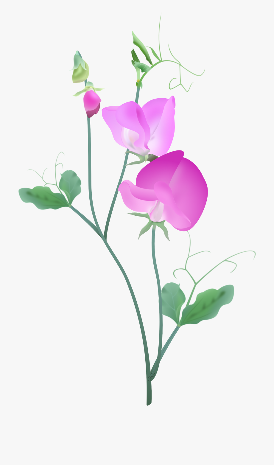 Sweet pink and purple. Peas clipart pea vine