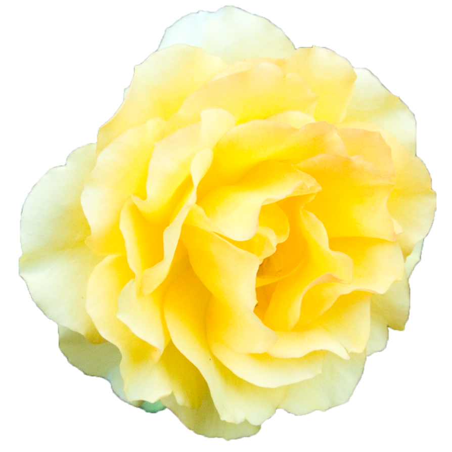 Yellow transparent png mart. Peony clipart clear background rose