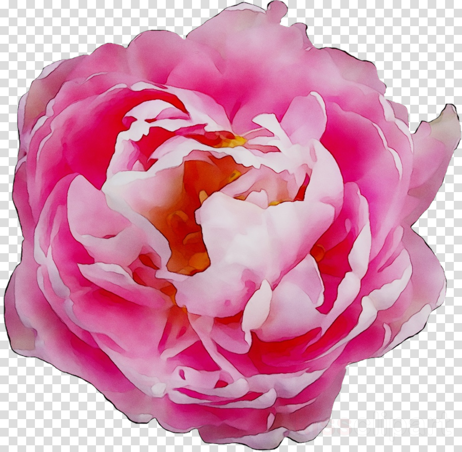 Peony clipart clear background rose. Pink flowers flower