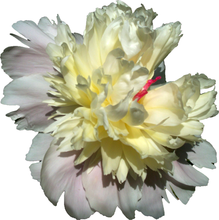 Png photos transparentpng . Peony clipart yellow