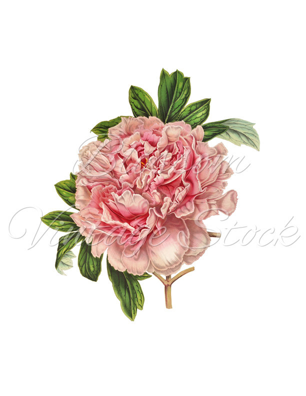 Peony clipart. Vintage pink png digital