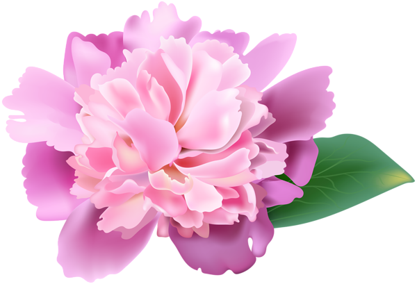 Peony clipart. Pink png clip art