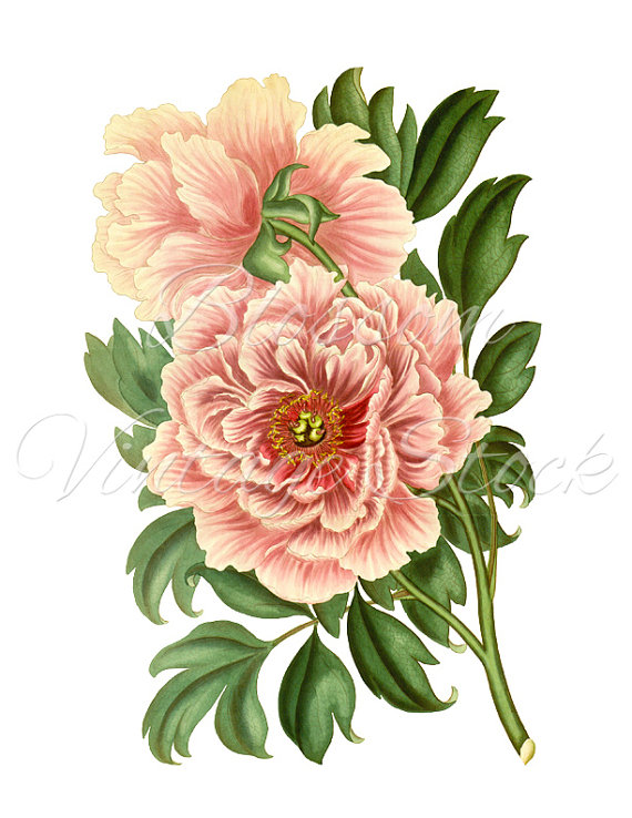 Peony clipart. Vintage graphic pink digital