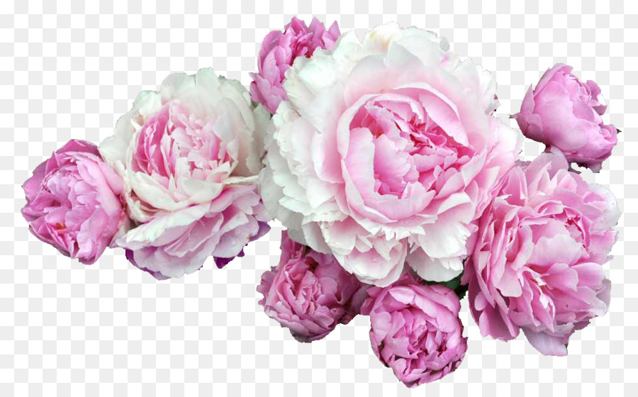 Peony clipart clear background rose. Floral flower transparent