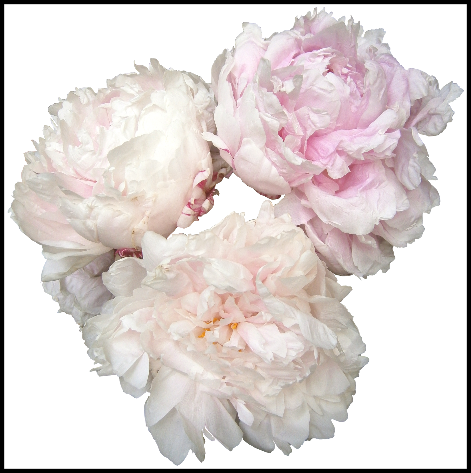 ideas of white. Peony clipart wedding flower