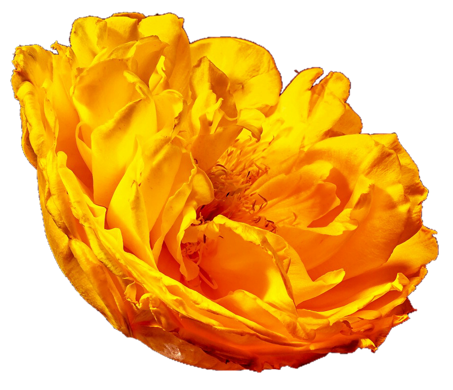 Peony clipart yellow. By jeanicebartzen on deviantart