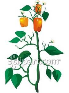 Plants clipart sweet pepper. An orange bell plant