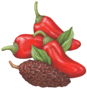 Peppers clipart chipotle pepper. Pin on illustrations