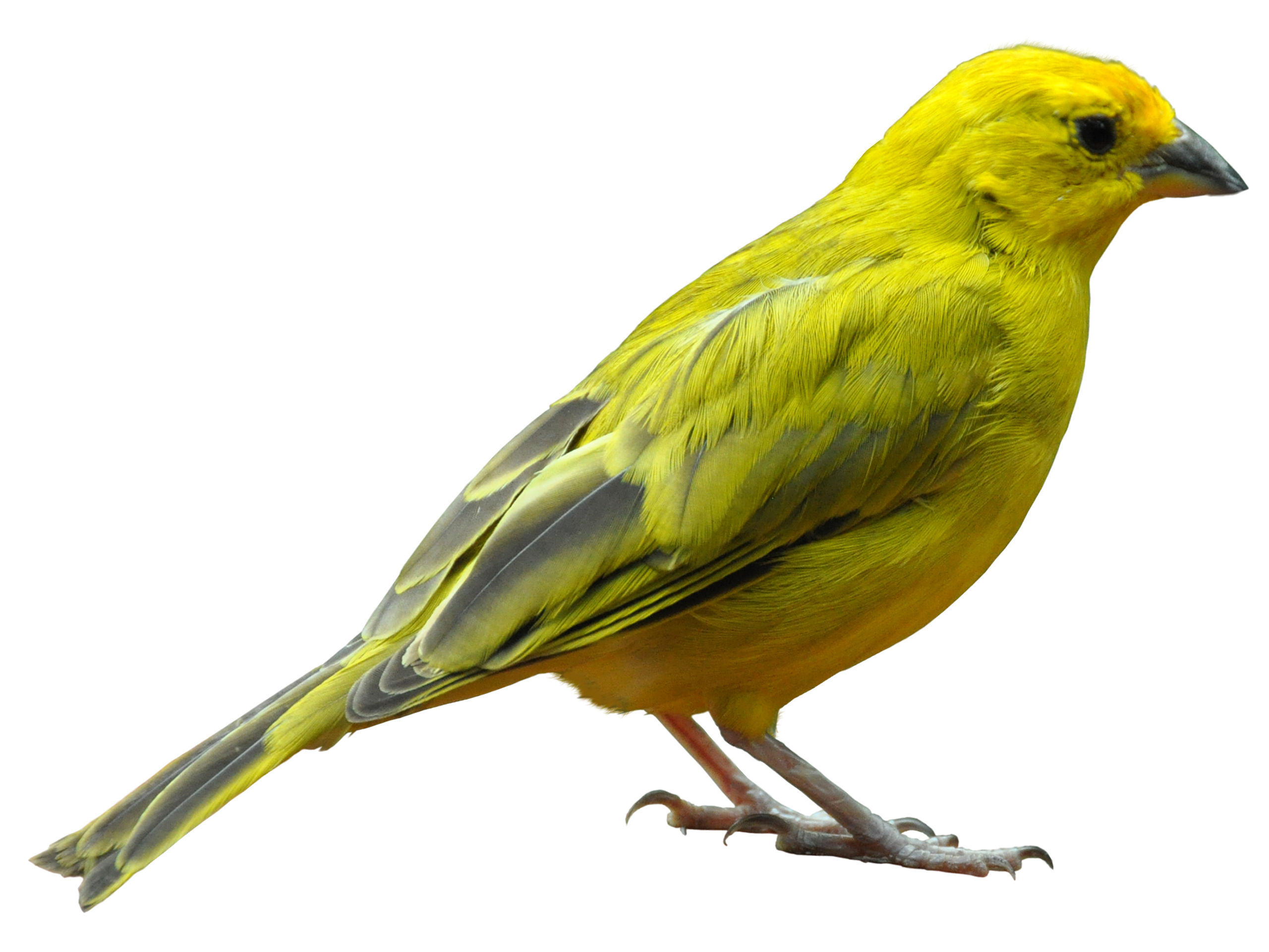 Yellow bird standing png. Pet clipart canary