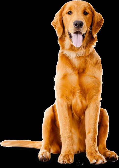 Humane society of cowlitz. Pet clipart golden retriever puppy