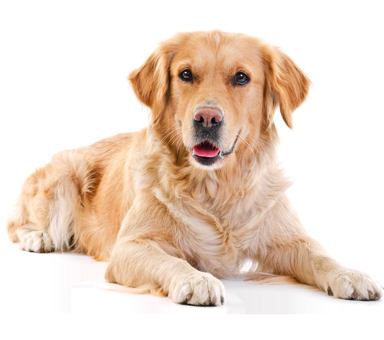 Pet clipart golden retriever puppy. Labrador png pinterest labradorpng