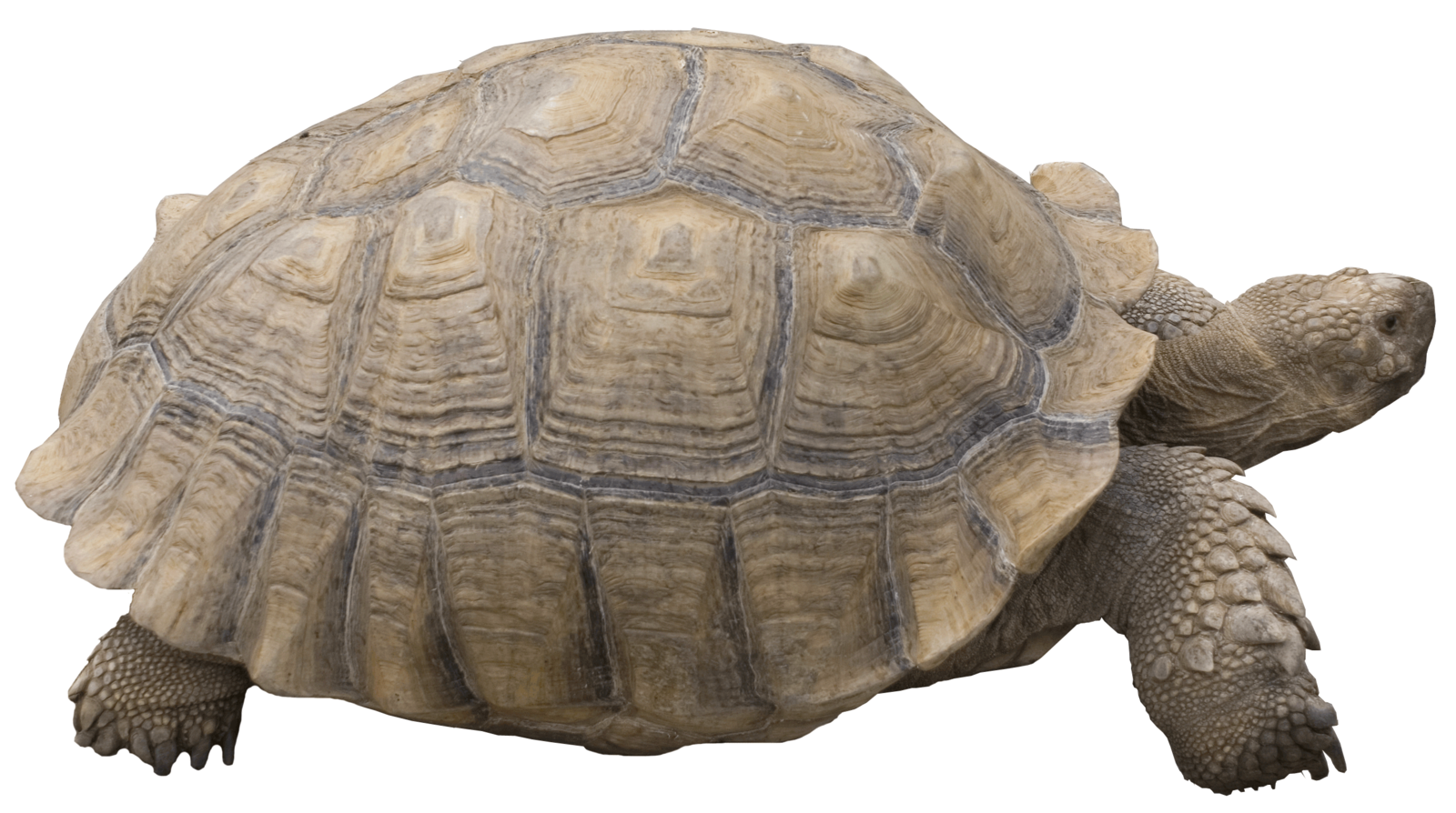 Pet clipart pet tortoise. Png transparent images pluspng