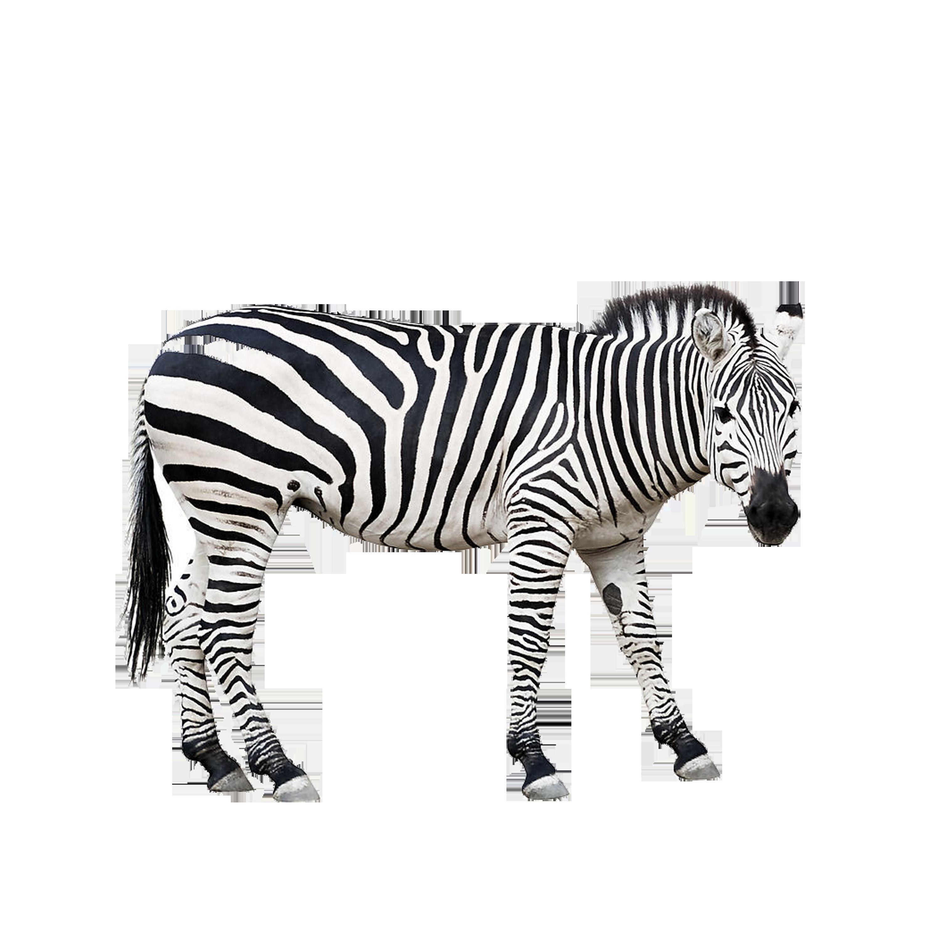 Zebra stock photography clip. Photographer clipart wildlife photographer