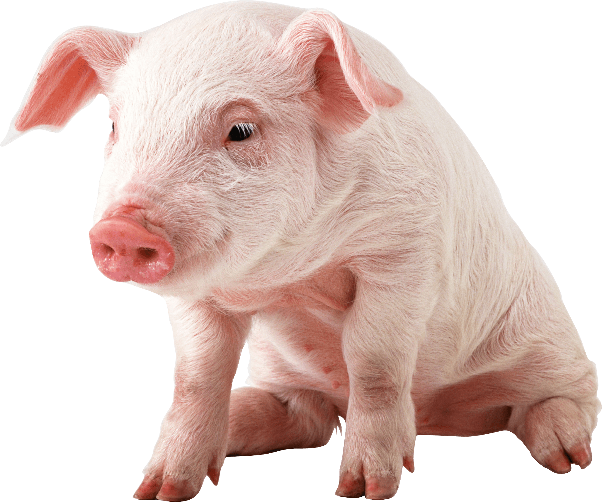 Sitting png image purepng. Pig clipart baby pig