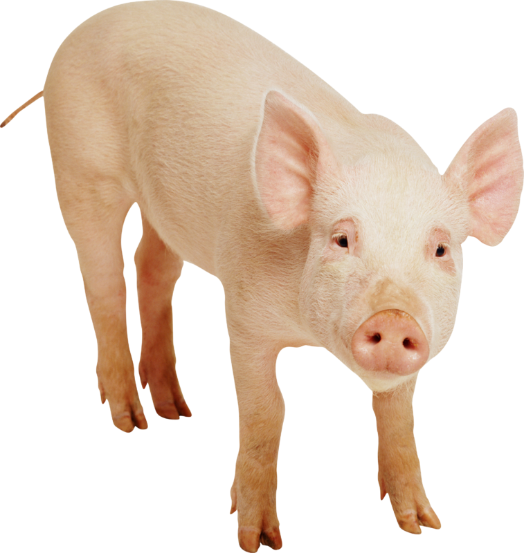New free images photos. Pig clipart clear background