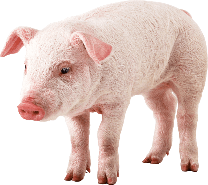 Pig png free images. Pigs clipart transparent background