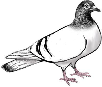 Pigeon clipart. Cliparts free download clip