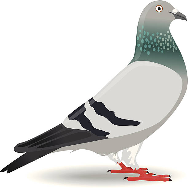 Pigeon clipart. Station