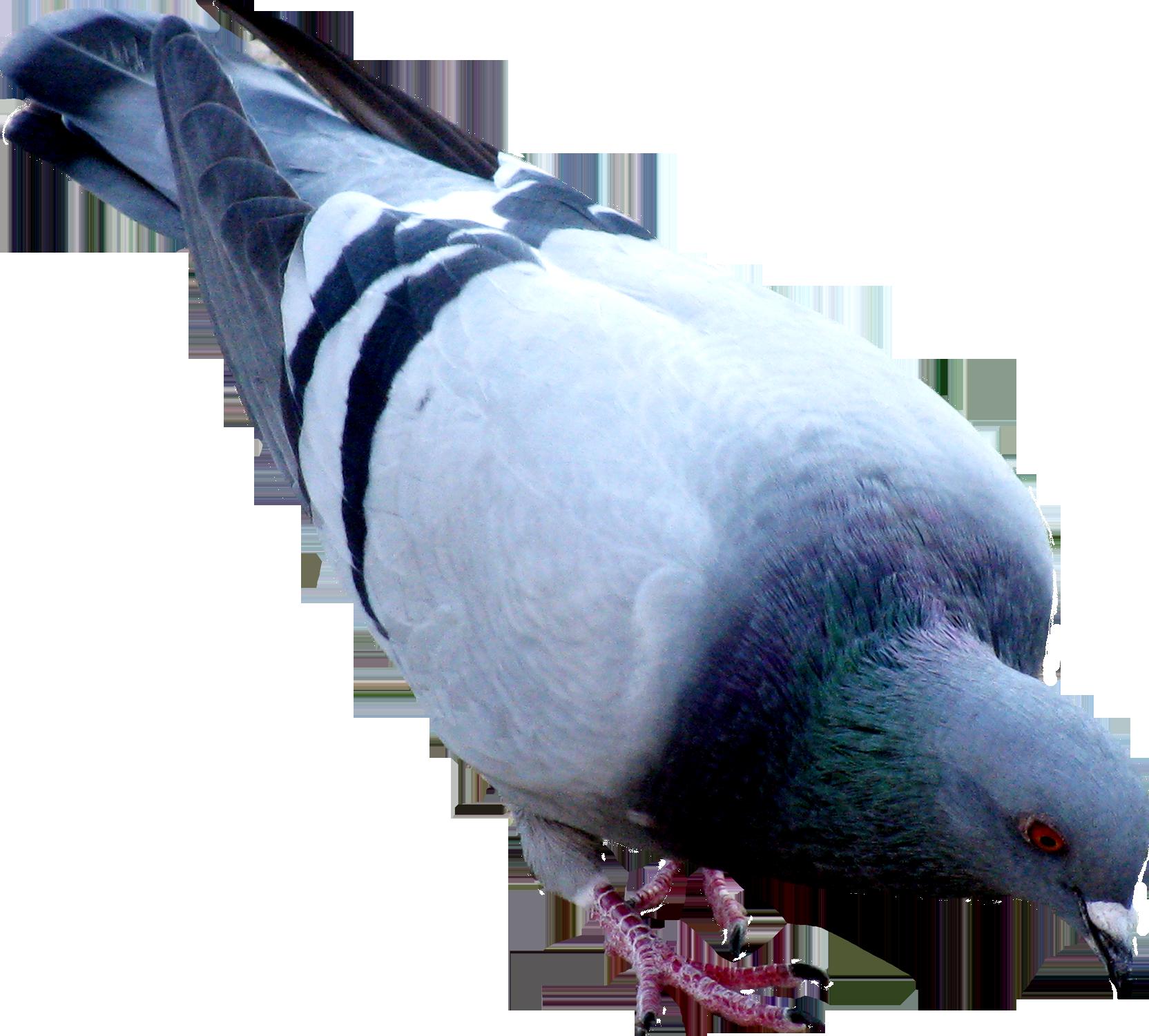 Png pinterest. Pigeon clipart animal farm
