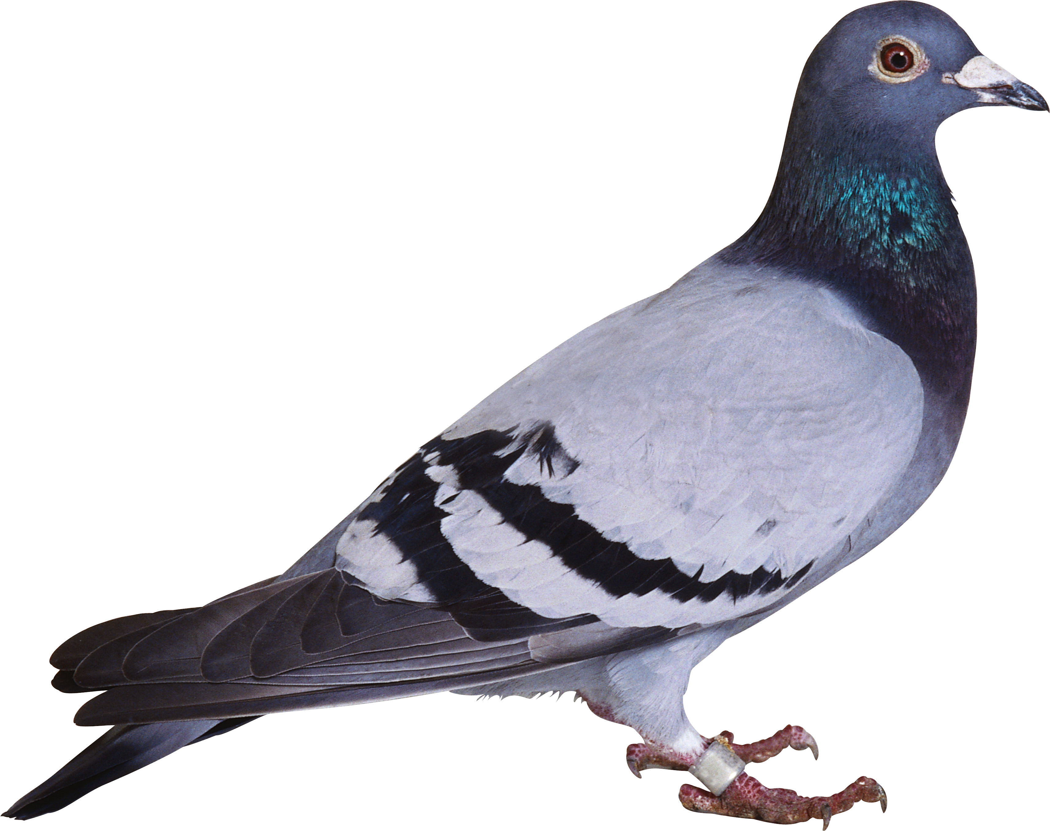 Pigeon clipart carrier pigeon.  collection of png