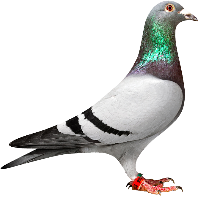 Pigeon clipart face. Png transparent full size