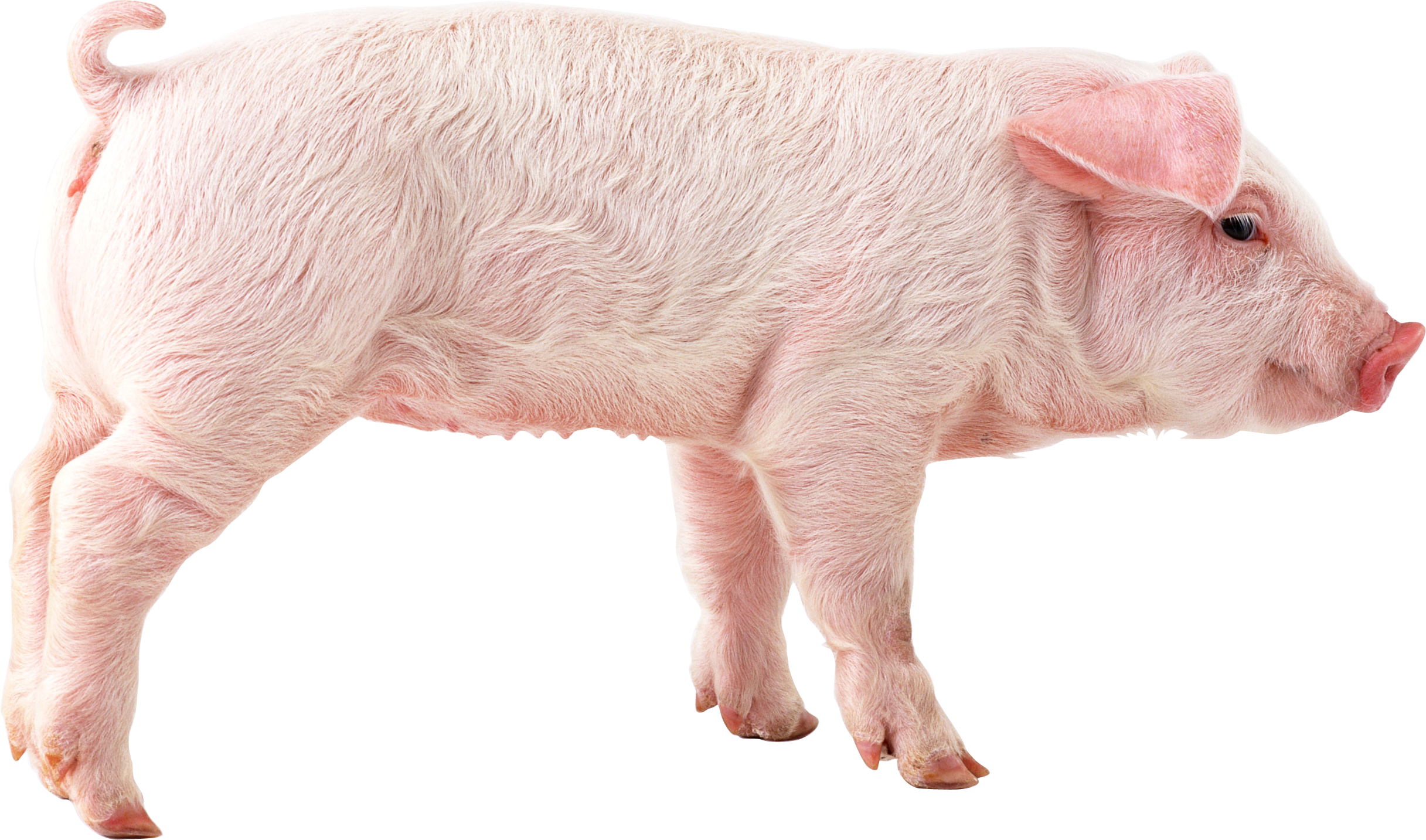 Pig eighteen isolated stock. Pigs clipart transparent background