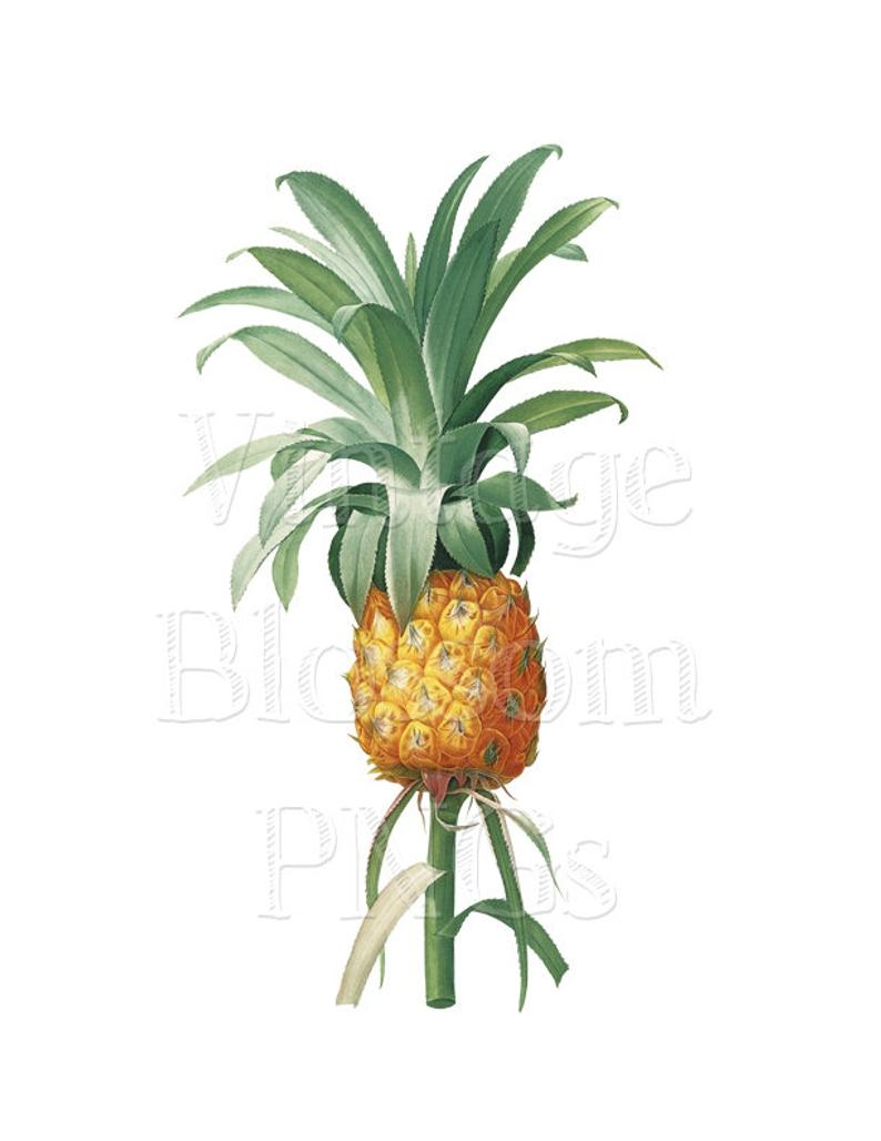 Png jpg images for. Pineapple clipart vintage