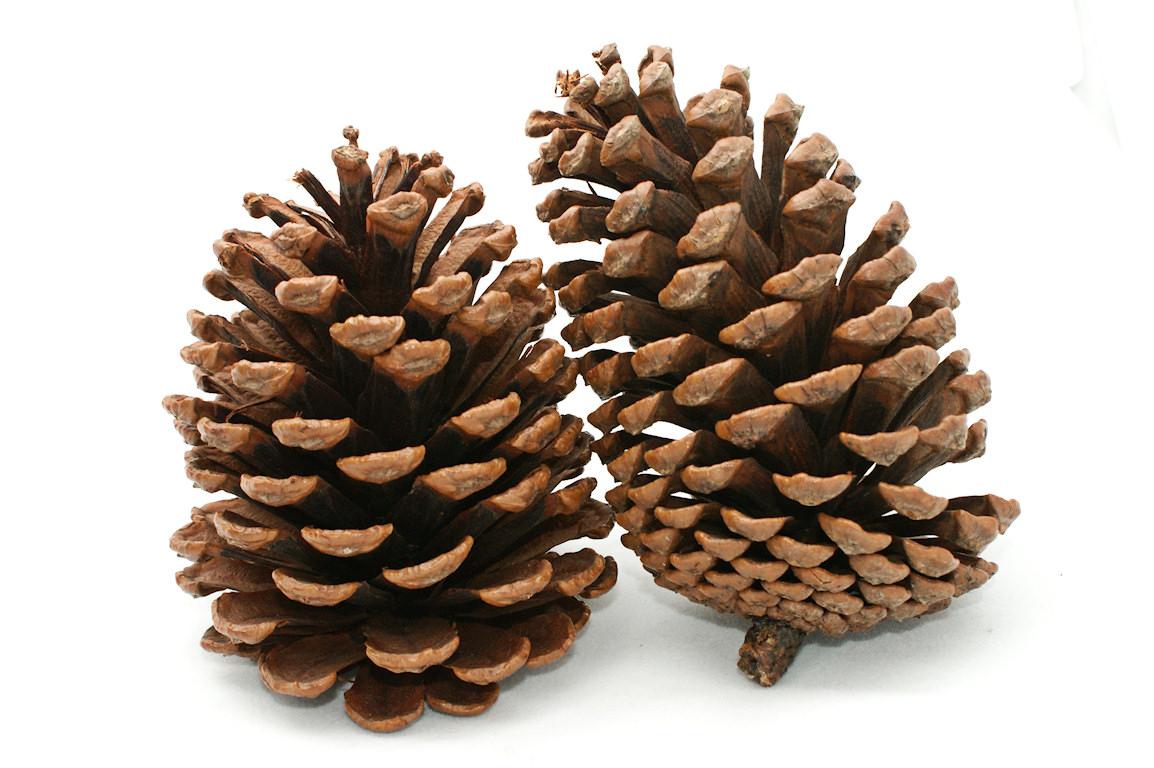 Pine cone stone pencil. Pinecone clipart