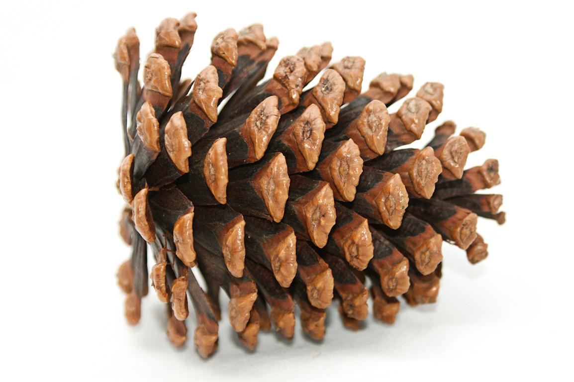 Pinecone clipart. Pine cone clip art