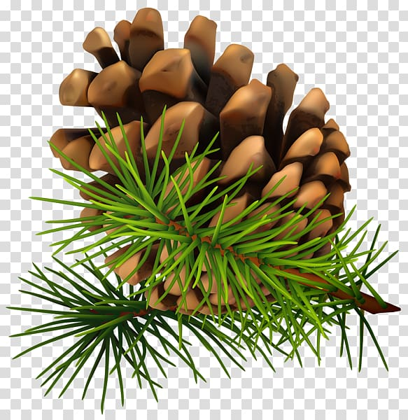 Conifer cone transparent background. Pinecone clipart eastern white pine