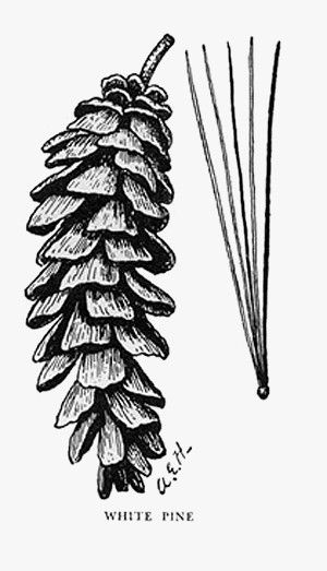 Pinecone clipart eastern white pine. Image result for tree