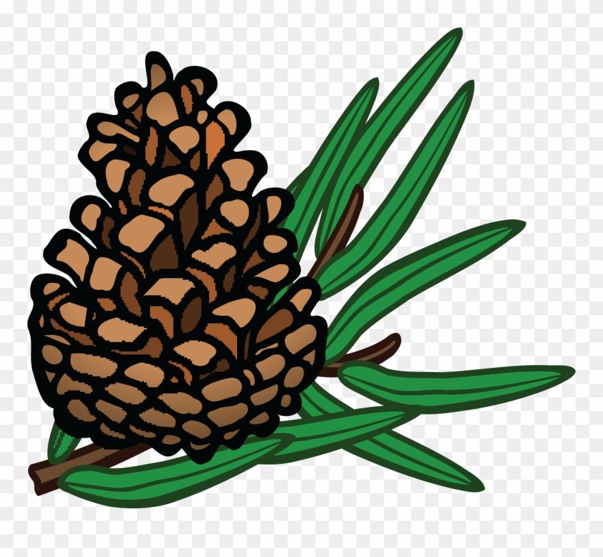 Free of a conifer. Pinecone clipart gymnosperm