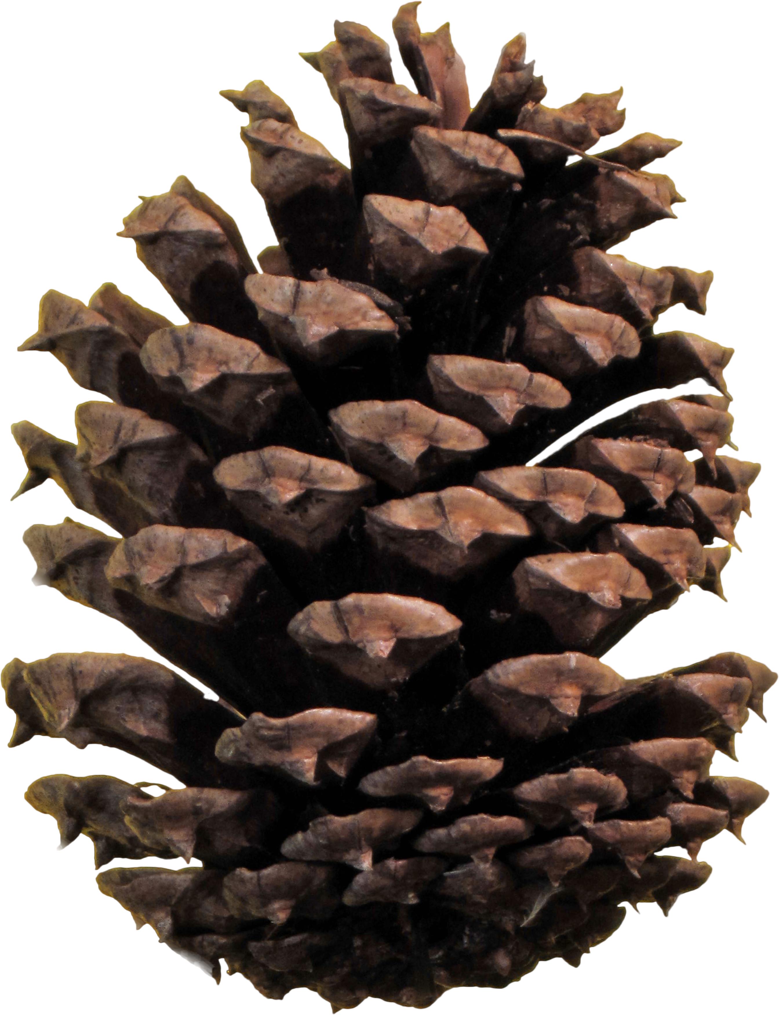 pinecone clipart transparent