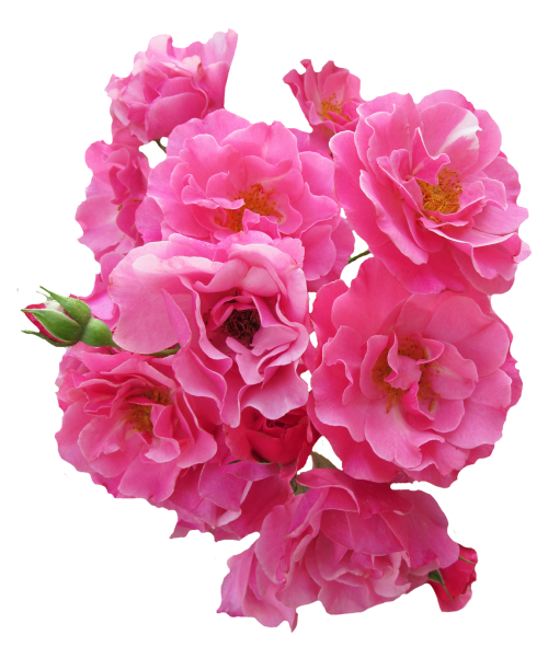 Pink flower png.  for free download