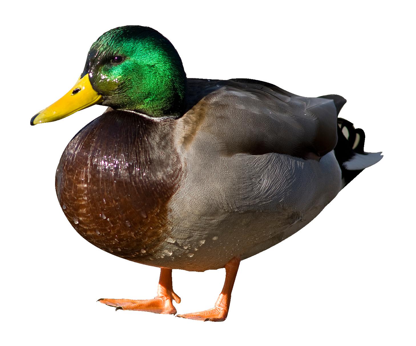Water clipart mallard duck. Png image purepng free