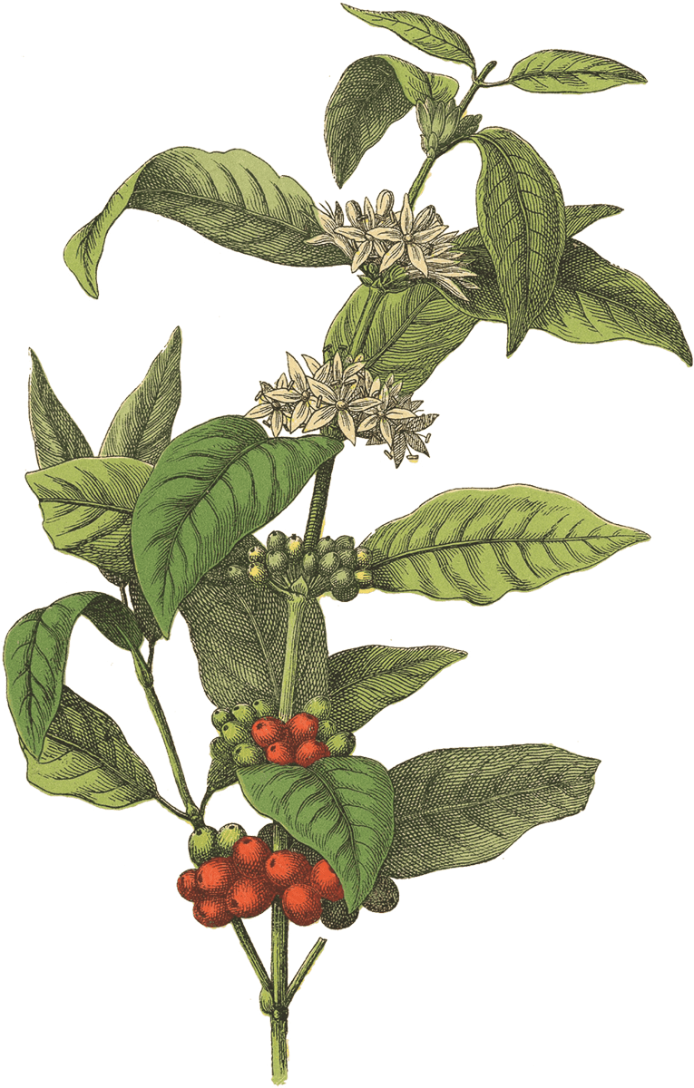 Plants clipart coffee tree. Red rooster web projector