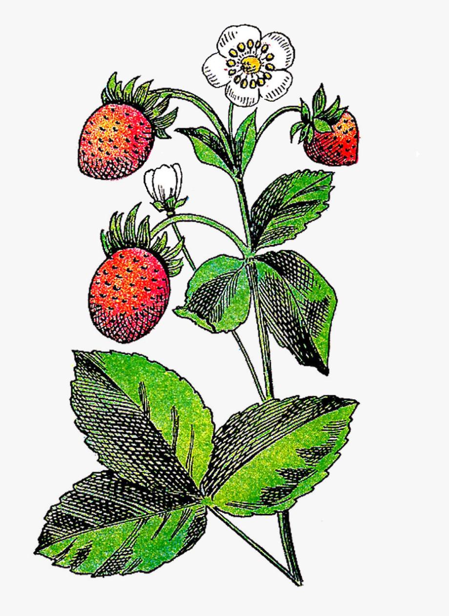 Fruit plant clip art. Strawberries clipart strawberry flower