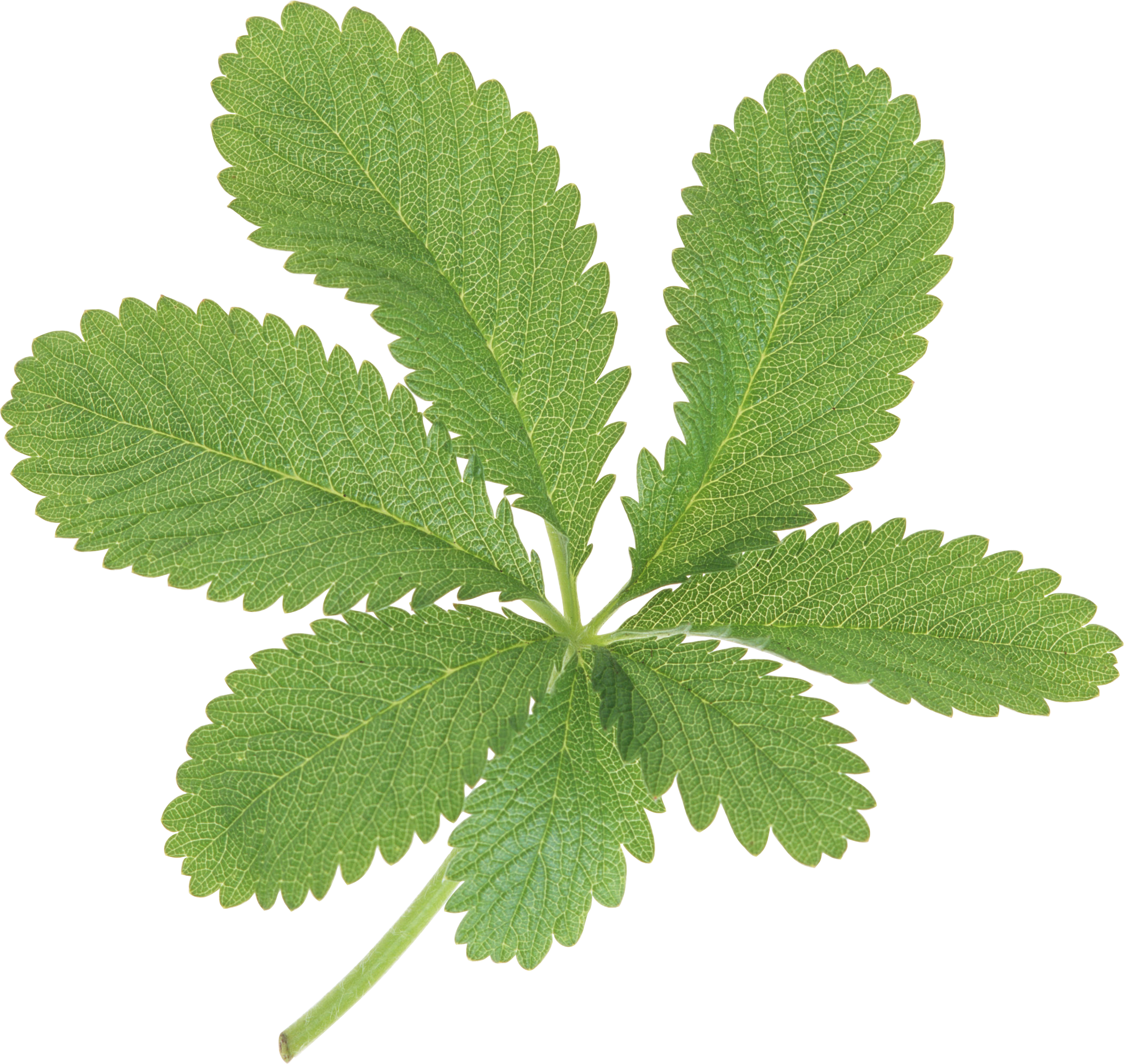Green leaves png images. Plant clipart herb