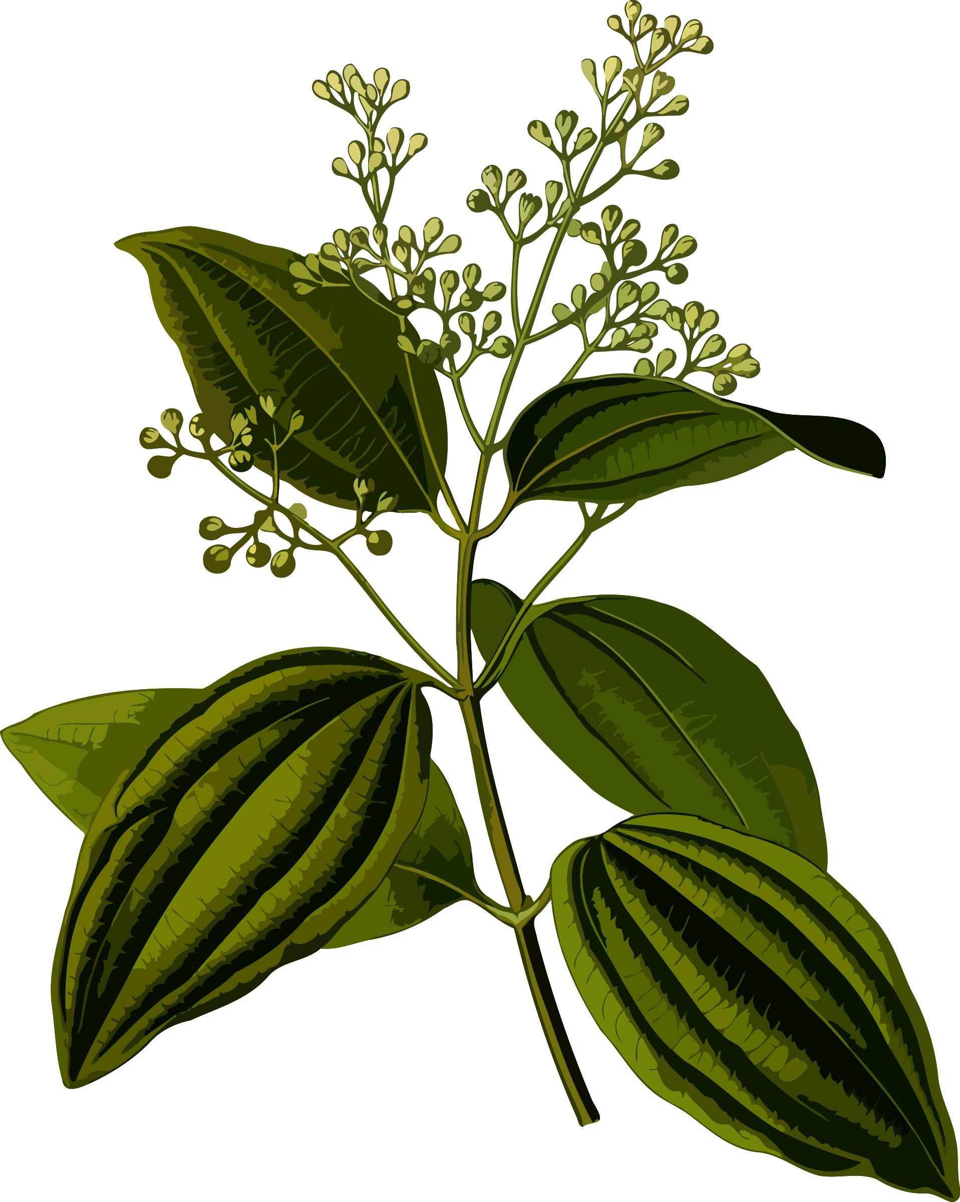 Plant clipart herb. Ceylon cinnamon smaller file