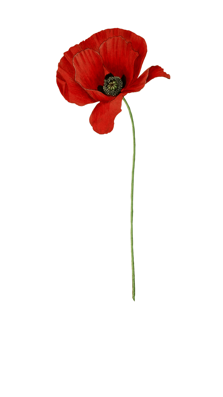 Long stem png stickpng. Poppy clipart transparent background