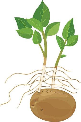 Premium clipartlogo com . Potato clipart potato plant