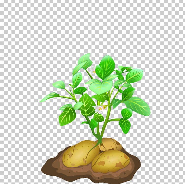 Vegetable png clip art. Potato clipart potato plant