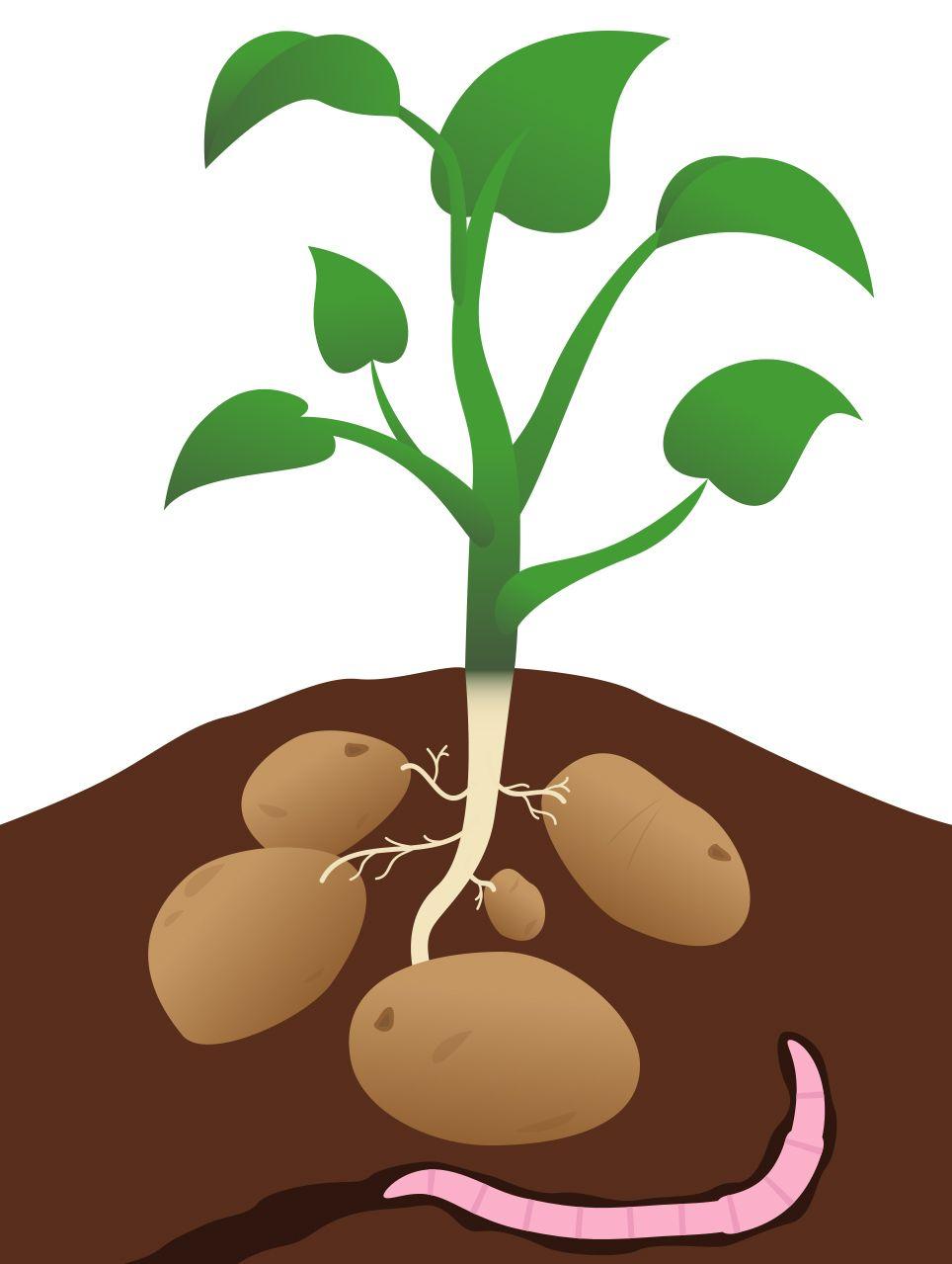Potato clipart potato plant. Images at t yahoo