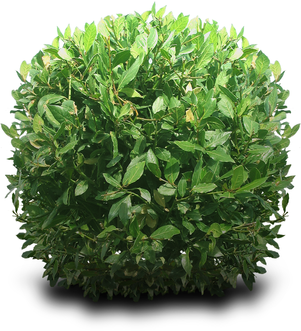 Shrub transparent images all. Flower bushes png