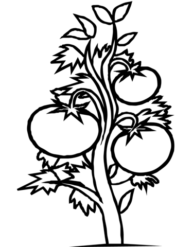 Tomatoes clipart eggplant plant. Tomato coloring page free