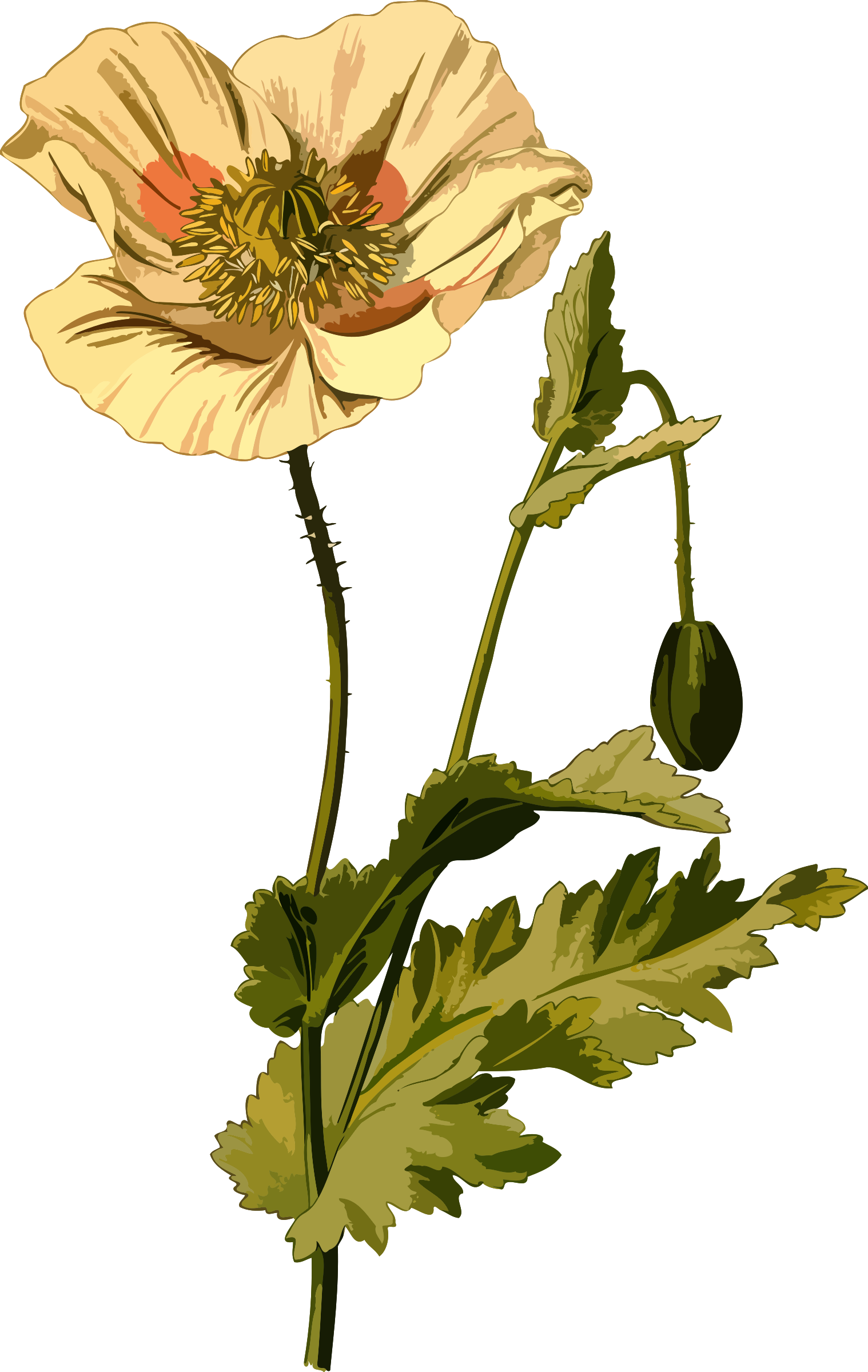 Poppy clipart poppy flower. Opium low resolution big