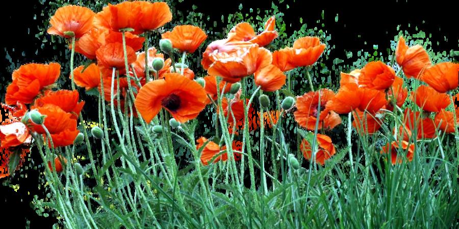 Poppy clipart three. Bed of orange poppies