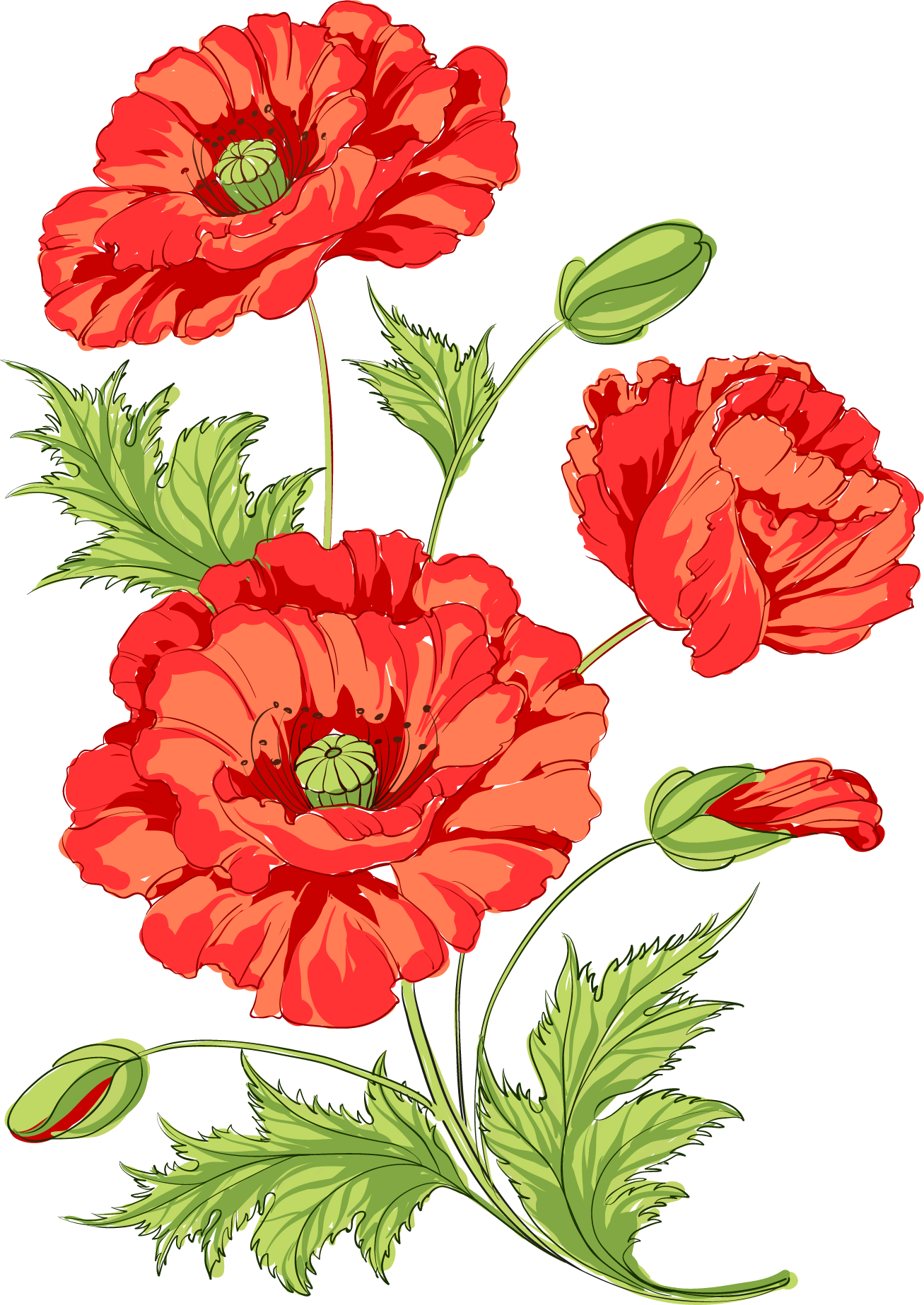 Flowers common opium watermelon. Poppy clipart daisy