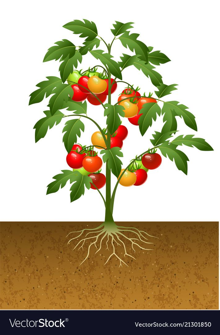 Plant with root under. Tomatoes clipart tomato crop