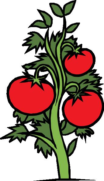 Tomatoes clipart tomato leaf. Plant clip art free